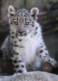 Schnee-Leopardjungsporträt Stockfotos