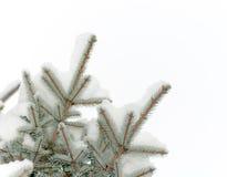 Schnee liegt auf einer Niederlassung einer Blautanne Stockbild