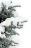 Schnee liegt auf einer Niederlassung einer Blautanne Stockbilder