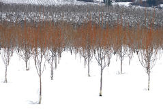 Schnee-Obstgarten Stockbilder