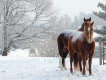 Schnee-Ponys lizenzfreie stockbilder
