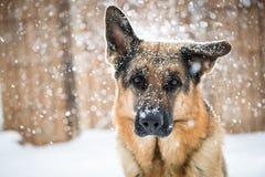 Schnee-Schäfer Stockbild