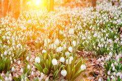 Schnee schmilzt mit der Ankunft der Hitze in den Wäldern dort ist zuerst empfindliche Blumenprimeln, die Schneeglöckchen nahe Neb stockfotografie