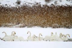 Schnee-Schwan Stockfotografie