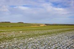 Schnee setzte Weizenforderungen in einer Winterlandschaft durch Stockfotografie