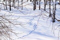Schnee treibt mit einem getretenen Weg, umrissen nach Schneesturm in einem natürlichen Birkenwald mit großen Schatten von den Bäu Stockbilder