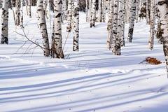 Schnee treibt mit einem getretenen Weg, umrissen nach Schneesturm in einem natürlichen Birkenwald mit großen Schatten von den Bäu Stockfotografie