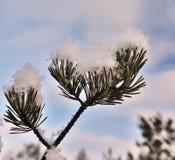 Schnee umfaßte Kieferzweig Stockbilder