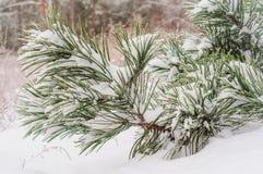 Schnee umfaßte Kieferzweig Lizenzfreies Stockfoto