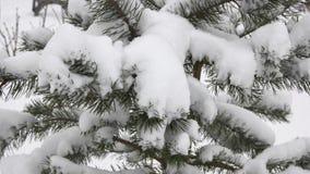 Schnee umfaßte Zweig des Tannenbaums stock video