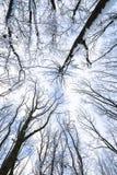 Schnee umfasste Baumniederlassungen, Ansicht von unten Stockfoto