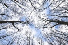 Schnee umfasste Baumniederlassungen, Ansicht von unten Stockbild