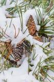 Schnee umfasste Kiefernniederlassung mit Kegeln Stockfotografie