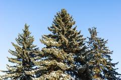 Schnee umfasste Niederlassungen eines gezierten Baums im Winter Lizenzfreies Stockbild