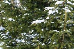 Schnee umfasste Niederlassungen eines gezierten Baums im Winter Stockfoto