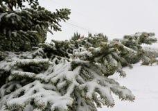 Schnee umfasste Tannenbaumaste im Park Russland, UralJanuary, Temperatur -33C lizenzfreies stockbild