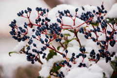Schnee und Beeren Lizenzfreies Stockfoto