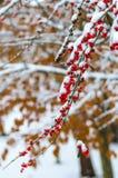 Schnee und rote Beere Stockbilder