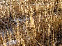 Schnee zwischen dem Weizenfeld in Sibirien, Russland lizenzfreie stockbilder