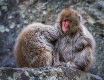 Schneeaffe oder japanischer Makaken in der heißen Quelle onsen Lizenzfreies Stockbild