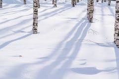 Schneeantriebe umrissen nach Schneesturm in einem natürlichen Birkenwald mit großen Schatten von den Bäumen belichtet durch die S Stockfoto