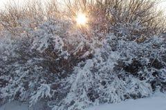 Schneebüsche Lizenzfreies Stockbild