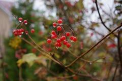 Schneeballbaum in der regnerischen Herbstsaison Lizenzfreie Stockfotografie