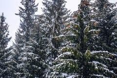 Schneebedeckte Bäume mit Kegeln Stockfotos