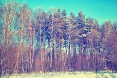 Schneebedeckte Birke und Kiefer im Winterwald Lizenzfreies Stockfoto
