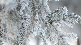 Schneebedeckte Kiefer des Winters Feld Feiertagshintergrund Tannenzweig umfasst mit Frostmärchenland Schnee auf dem Zweig Winter- stock video