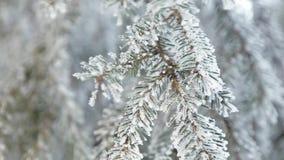 Schneebedeckte Kiefer des Winters Feld Feiertagshintergrund Tannenzweig umfasst mit Frostmärchenland Schnee auf dem Zweig Winter- stock footage