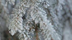 Schneebedeckte Kiefer des Winters Feld Feiertagshintergrund Tannenzweig umfasst mit Frostmärchenland Schnee auf dem Zweig Winter- stock video footage
