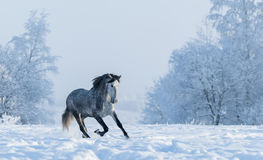 Schneebedeckte Landschaft des Winters Galoppierendes graues spanisches Pferd Stockbilder