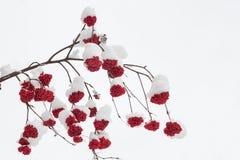 Schneebedeckte Niederlassung der Eberesche mit reifen roten Beeren Stockbilder