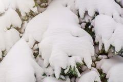 Schneebedeckte Niederlassungen des gezierten Nahaufnahmeisolats Stockfotografie