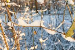 Schneebedeckte Niederlassungen eines Busches Stockbilder