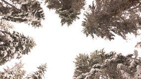 Schneebedeckte Niederlassungen von Kiefern im Winter-Wald stock video footage