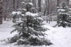 Schneebedeckte Tanne im Park im Winter Stockfotografie