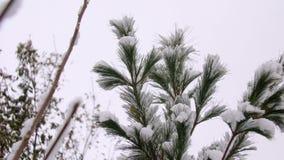 Schneebedeckte Zeder im Winter Eine schöne grüne Zeder schneebedeckt in einem Schuss Niederlassungen von einem grünen großen schö stock video footage