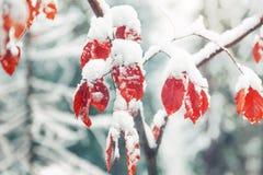 Schneebedeckter Baumast des schönen Winters mit Blättern Stockfotos