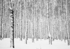 Schneebedeckter Birkenwald des Winters lizenzfreie stockfotos