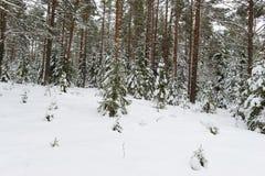 Schneebedeckter Kiefernwaldsaubere Art des Winters der Dämmerung des Morgens Stockfotografie