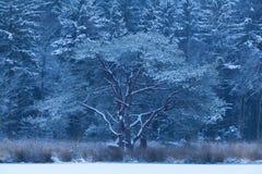 Schneebedeckter Morgen des kalten Winters im Wald stockfoto
