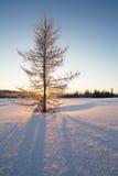 Schneebedeckter Tannenbaum auf dem Hintergrund einer Sonne und des Waldes Lizenzfreies Stockfoto