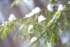 Schneebedeckter Tannenzweig Stockfoto