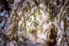 Schneebedeckter Tannenzweig in der Sonne Lizenzfreies Stockfoto