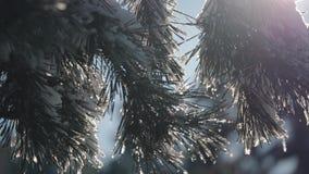 Schneebedeckter Wald des Winters bei Sonnenuntergang Schöner Kiefernwald im Schnee stock footage