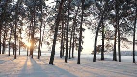 Schneebedeckter Wald des Winters bei Sonnenuntergang Sch?ner Kiefernwald im Schnee stock video