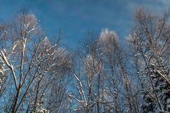 Schneebedeckter Wald des Winters unter dem blauen Himmel Stockbilder