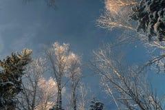 Schneebedeckter Wald des Winters unter dem blauen Himmel Lizenzfreie Stockfotografie